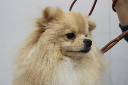 可爱博美犬图片