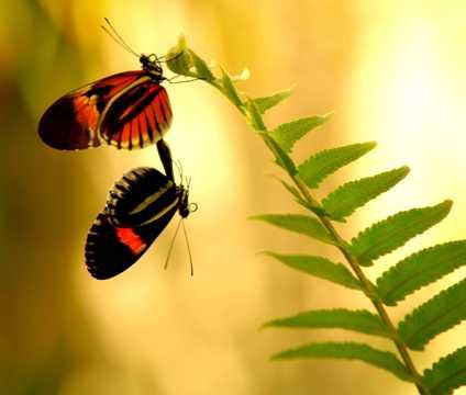 两只蝴蝶交配图片