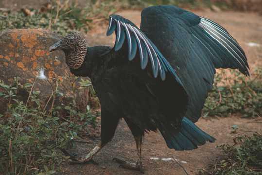 美国黑秃鹰图片