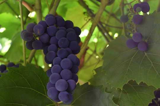 葡萄园紫色葡萄串图片
