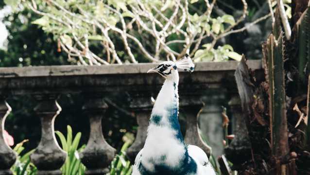 漂亮白孔雀图片