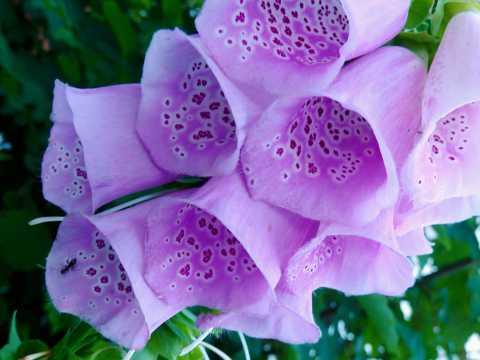 紫色毛地黄鲜花微距图片
