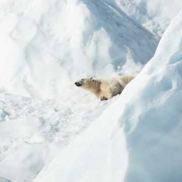 北极熊萌萌哒图片