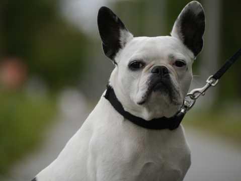 斗牛犬肖像图片