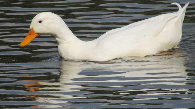 白色鸭子浮水图片