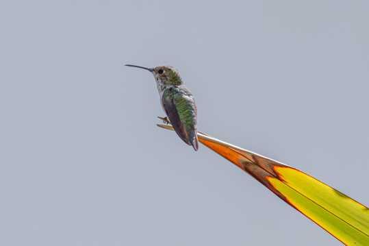 小型蜂鸟图片