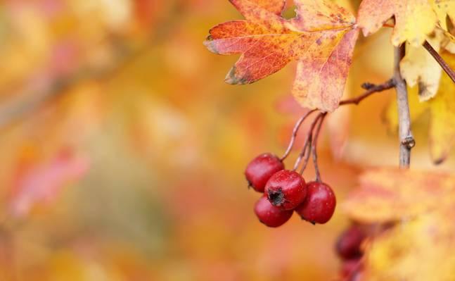 山楂,秋天,山楂浆果