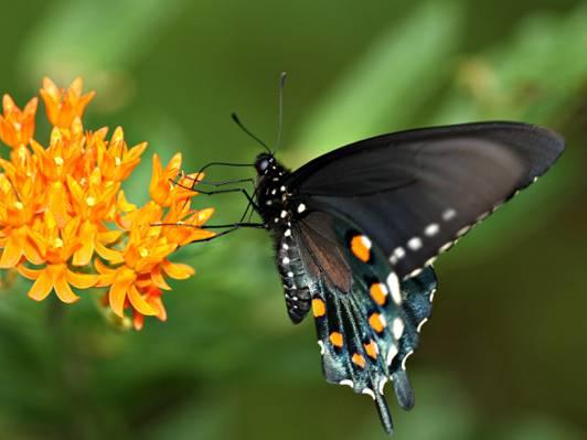 Spicebush燕尾橙鲜花,蝴蝶杂草高清壁纸