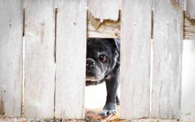 狗,看,篱笆