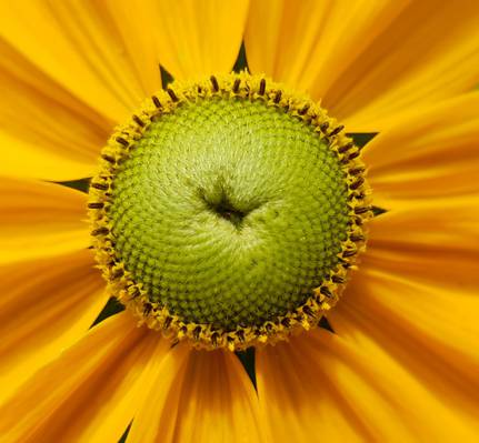 黄色波斯菊花宏观照片高清壁纸
