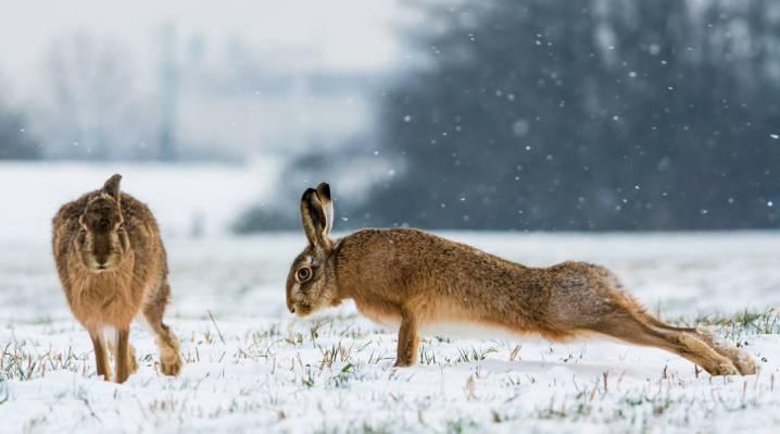 俯卧撑,积雪,充电,兔子,冬天