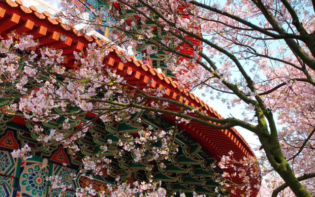 鲜花,寺庙,树,建筑,模式,樱花,春天