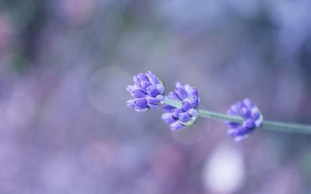 散景,小枝,背景,场,丁香,花卉