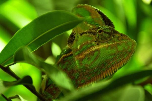 绿色变色蜥蜴HD墙纸特写镜头照片