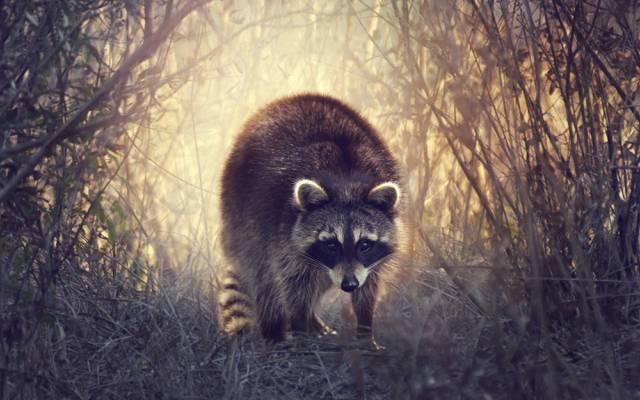 草,浣熊,灌木,性质
