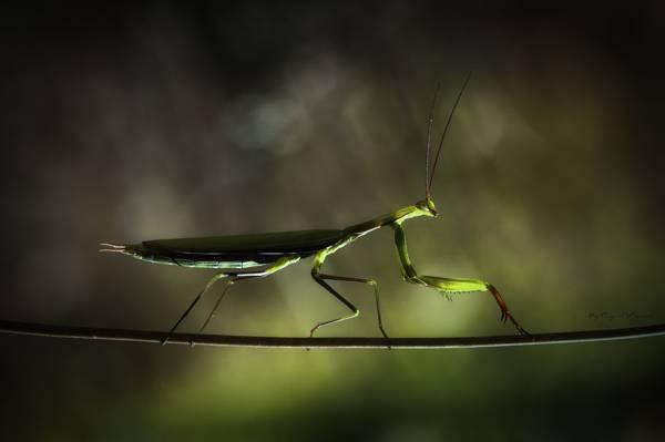 螳螂,分支,阴影,杂技演员