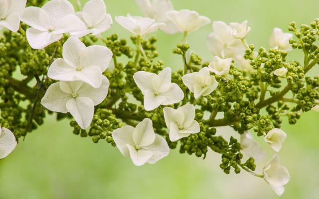 花,宏,绣球花,花序,绣球花橡树