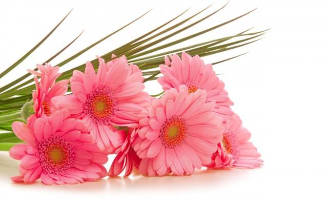 鲜花,粉红色,白色背景,非洲菊,非洲菊