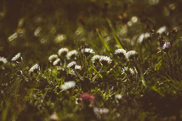 鲜花,洋甘菊,花瓣