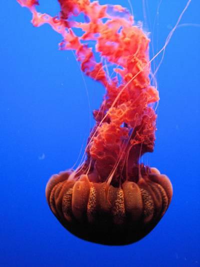 红色的水母,在深蓝色的大海,蒙特利,加利福尼亚州,美国高清壁纸游泳