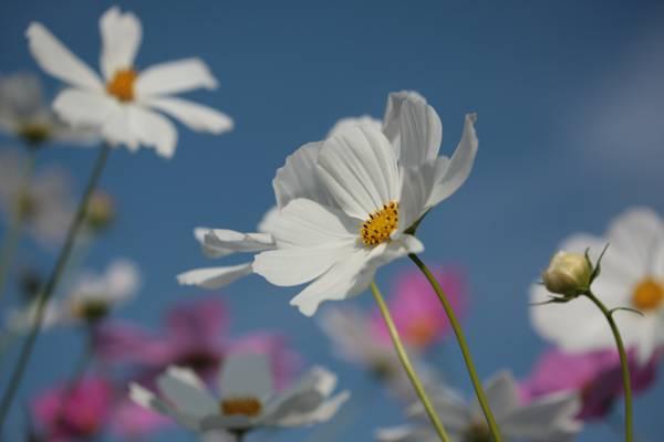 花,花瓣,天空,自然,夏天,科斯美亚,开花