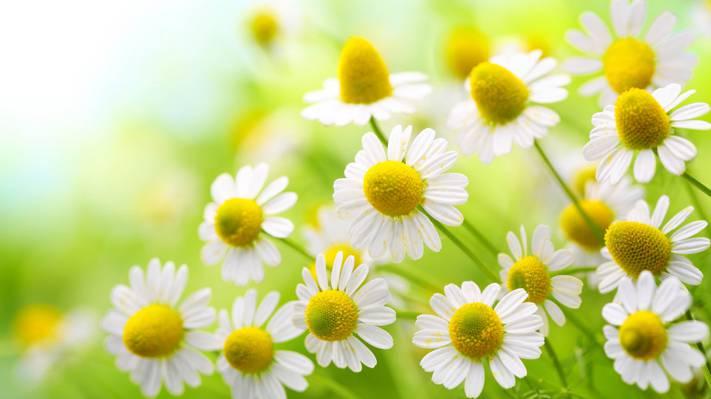 小清新白菊花