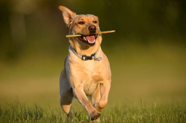 狗,喜悦,运行,心情,拉布拉多猎犬,走
