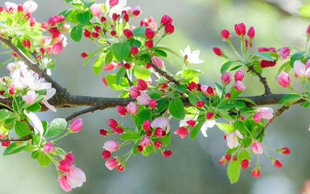 叶子,春天,樱桃,花园,分支机构,鲜花