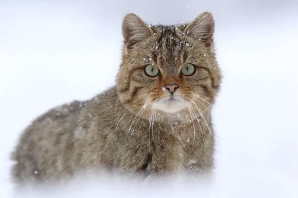 野猫,雪,欧洲野猫,看
