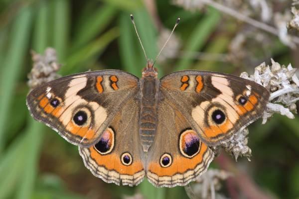 共同的七叶树蝴蝶HD墙纸特写镜头摄影