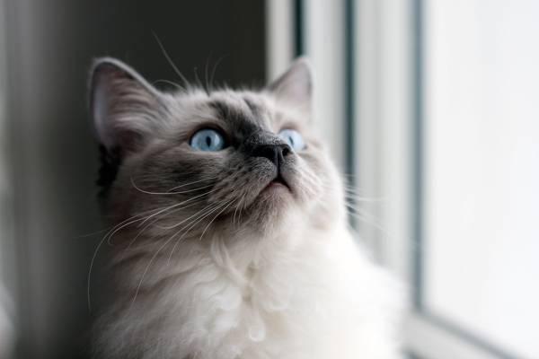 蓝色的眼睛,靠近窗口高清壁纸的蓝猫