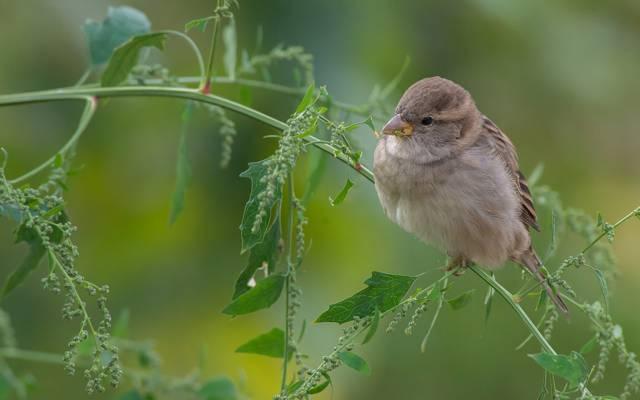 麻雀,麻雀,草叶,鸟