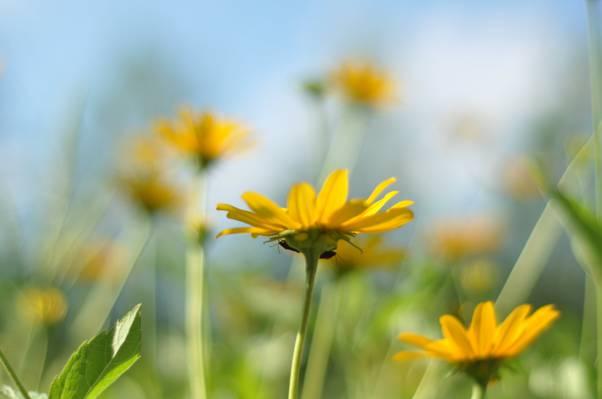 微距拍摄的黄色雏菊花高清壁纸的照片