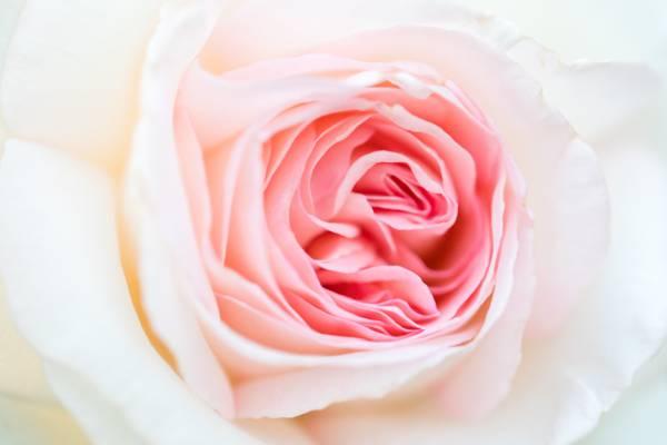 七夕唯美的玫瑰花
