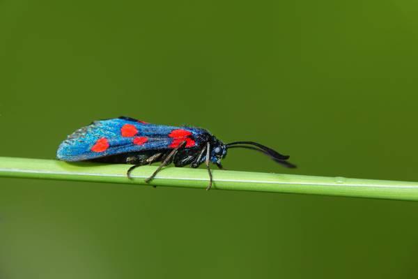 蓝色和红色六发现Burnet蛾高清壁纸