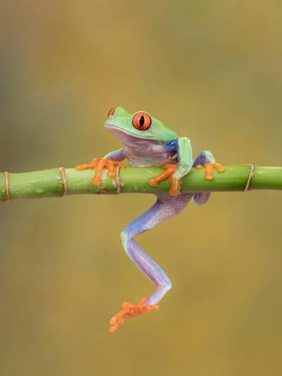 竹棍上的绿色青蛙高清壁纸