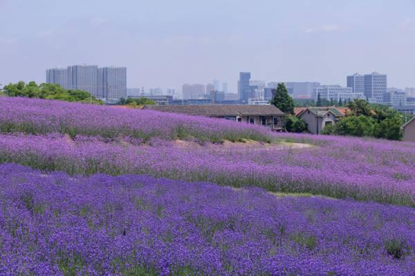 夏日的薰衣草风景