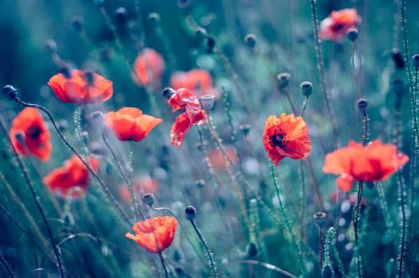 橙色罂粟花朵高清壁纸