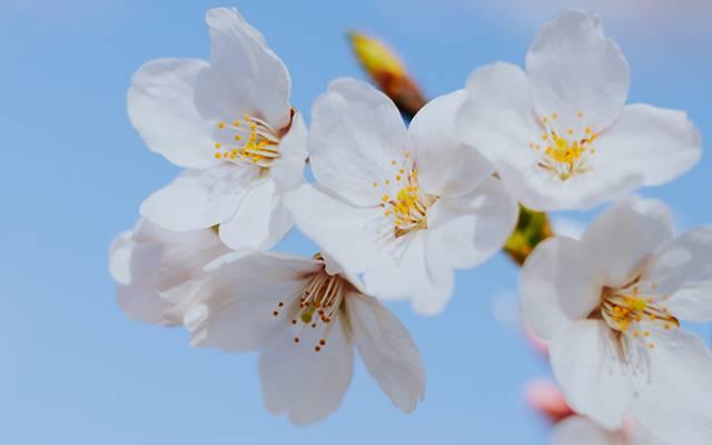 武汉唯美樱花