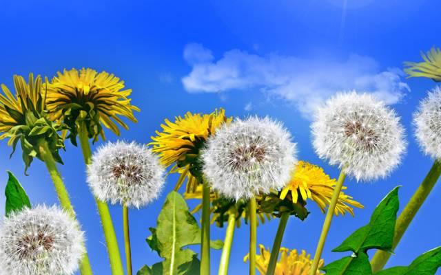 春天,天空,太阳,蒲公英,田野,野花,蒲公英,黄色,春天,鲜花