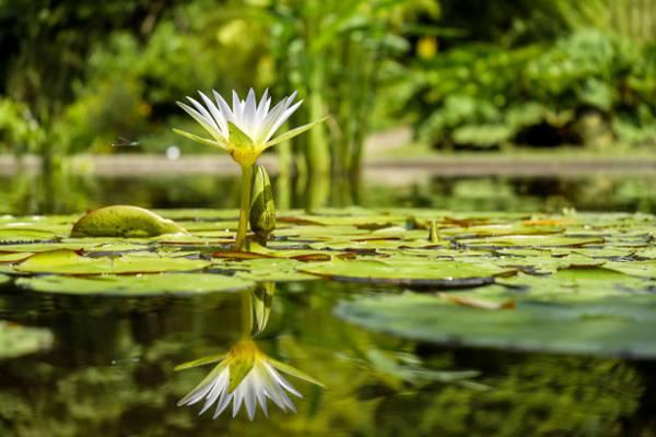白色的花水上高清壁纸