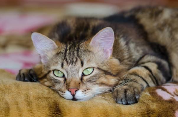 小胡子,谎言,看,Koshak,看起来,雄猫,眼睛,猫