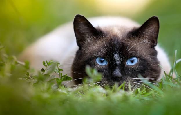 喜马拉雅猫高清壁纸倾斜移位摄影
