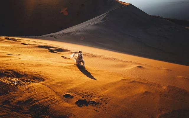 沙,沙漠,狗