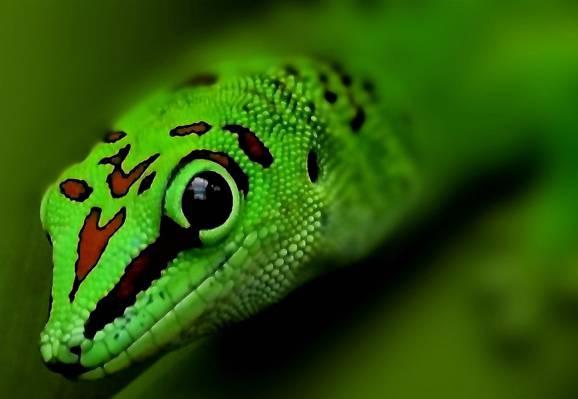 绿色豹子,壁虎HD壁纸的选择聚焦