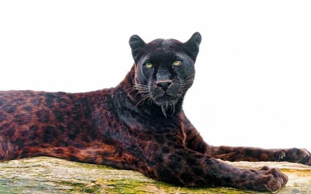 豹,看,捕食者,脸,黑豹