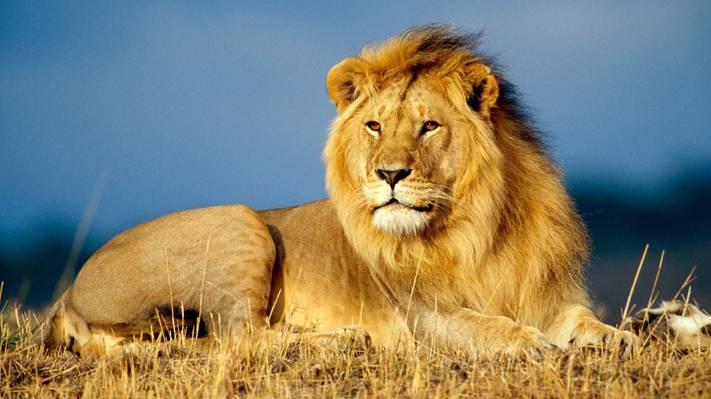 草原上的狮子