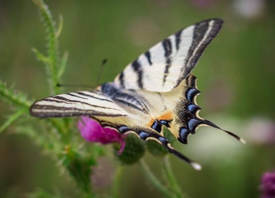 黑色和白色的蝴蝶高清壁纸