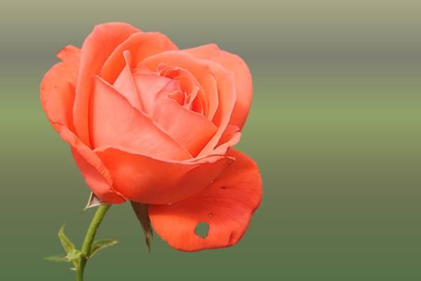 桃红色的选择性焦点照片上升了HD墙纸