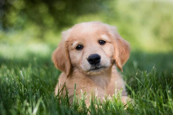 狗,金毛猎犬,金毛寻回犬,看,小狗,草